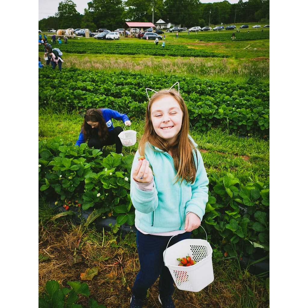 Picking Healthy Strawberries at a Strawberry Farm 2